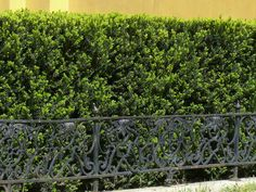 Ezeket ültesd tuja helyett | Gardenista Vineyard, Plants, Outdoor, Country, Outdoors, Rural Area, Vine Yard, Vineyard Vines, Plant