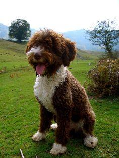 Laghetto Romagnolo, Italian truffle dog