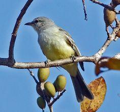 Chapada Flycatcher (Suiriri affinis)  formerly called Campo suiriri, Suiriri (suiriri)