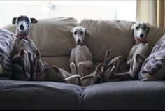 Awww the three wise whippets!