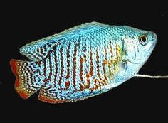 gourami neon blue male. Had one. No name. It died. Must've wanted a name.