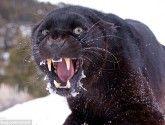 Impactantes fotografías de felinos