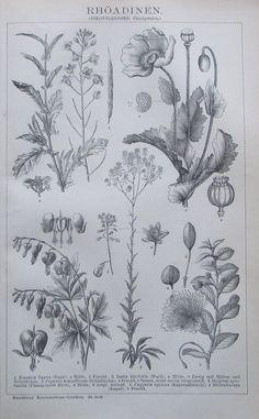 1895 RHÖADINEN BOTANIK Original Alter Druck Antique Print Lithographie Blumen | eBay