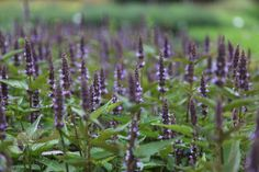 Buy giant hyssop Agastache 'After Eight': Delivery by Crocus