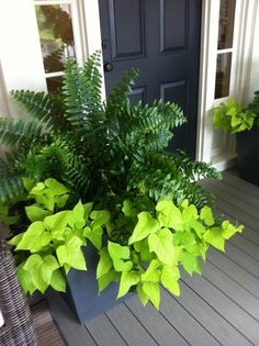 HUGE pots with ferns and sweet potato vines on the rear porch.