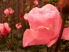 Ionutz Photography: Pink rose