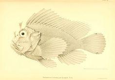 The deep-sea fishes [of the Hawaiian Islands] Washington,Govt. Print. Off.,1905. biodiversitylibrary.org/page/12839401