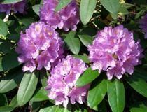 Rhododendron 'Catawbiense Grandiflorum - puistoalppiruusu
