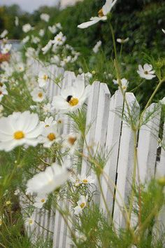 white fence and daisies