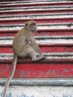 #monkey at Batu Caves, Malaysia