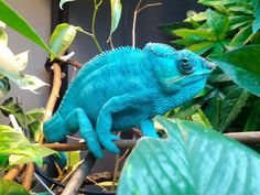 An electric blue Nosy Be panther chameleon. If I got a Nosy Be this it what I would want it to look like! Chameleon Care, Crocodiles, Alligators, Kids Apron, Electric Blue, Sea Creatures, Panther, Geckos, Lizards