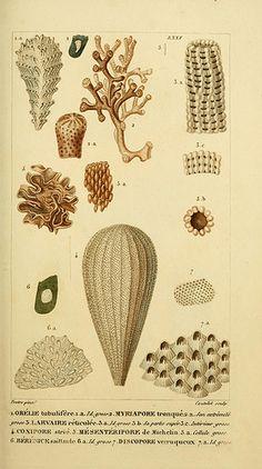 Manuel d'actinologie ou de zoophytologie /. Paris ;F.G. Levrault,1834-[1836]..