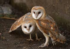 Ohh barn owls