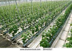 hydroponics--cucumbers
