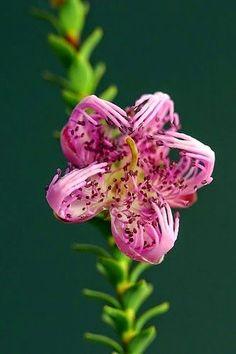 Melaleuca pulchella