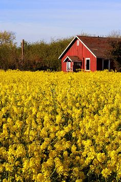 Red in a yellow field,East bay,California  Yellow flowered fields are my favorite.