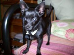 Onyx is an adoptable Chihuahua Dog in EDMOND, OK. Listed 3-02-12  Today I picked up this tiny puppy, who wandered up to a house on a rainy day a few days ago. They tried to find his owner, but lets fa...