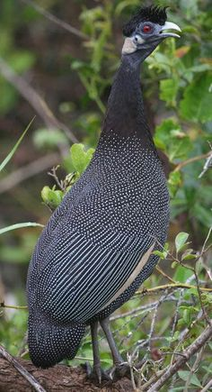 Crested guineafowl (Guttera edouardi) is found primarily in areas of southeastern Africa.   Numididae family. - Alejandro Carballido - Google+