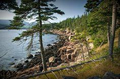 Atlantic Shoreline Pine Tree on Mount Desert Island in Acadia National Park in Maine No.176 - A Fine Art Seascape Photograph