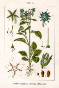 Borago officinalis: the most important herbal source of GLA