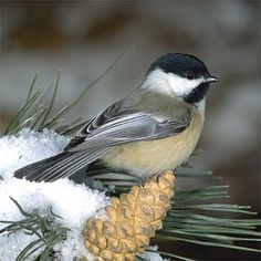 State Birds: Maine - Chickadee sitting on Maine pine cone and tassel