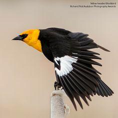 National Audubon Society · · Yellow-headed Blackbird