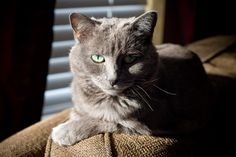 We've already taken a look at some of the most expensive dog breeds, but believe it or not, there are actually some really expensive cat breeds as well. Russian Cat Breeds, Russian Blue Kitten, Most Expensive Dog, Types Of Cats, Losing A Pet, Maine Coon, Animals And Pets, Animal Pictures, Cats And Kittens