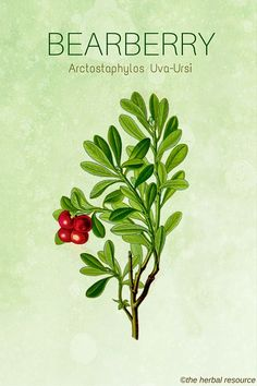 The Herb Bearberry (Arctostaphylos Uva-Ursi)