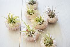Sea urchin plant holders for the table.... awesome use for these!