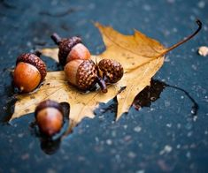 Fall Leaves and Acorns Autumn Rain, Autumn Cozy, Autumn Nature, Autumn Scenery, Art Nature, Nature Images, Oak Leaves, Autumn Leaves, Autumn Harvest