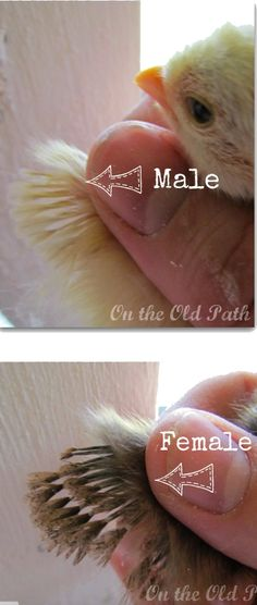 Worth a try! From http://ontheoldpath.com/2012/05/26/chicks-and-how-to-sex-them/