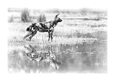 African wild dogs reflection in a BW fine art print African Wild Dog, Wild Dogs, African Animals, Hunting Dogs, Wildlife Art, Animal Prints, Fine Art Prints, Moose Art, Canvas Art