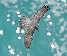 peregrine falcon  (photo by jitaek park)