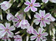 Phlox subulata 'Candy Stripes' - Kruipphlox in de Digituin.