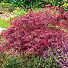Acer palmatum var. dissectum 'Rubrum' - Trees - Thompson & Morgan
