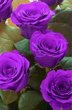 ♡beautiful purple roses                                                       …