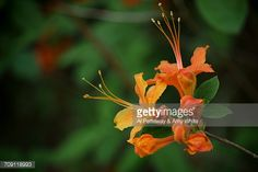 Catawba Rhododendron And Distant Plott Balsam Mountains And ...