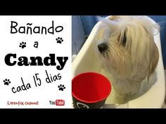 Baño de Perro cada 15 dias - YouTube @petlovers #cotondetulear
