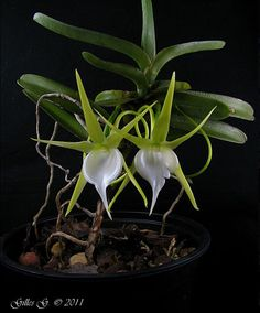 Angraecum dollii - In Front-view Unusual Flowers, Amazing Flowers, Mini Orquideas, Tropical Flowers, Orchid Flowers, Types Of Orchids, Ikebana, Garden Plants, Succulents