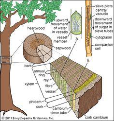 Coleus Stem Tip, l.s. | Plant Anatomy I - Leaf, Stem, Root ... Xylem Tissue Facts
