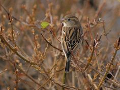 Sparrow on the twigs by davincipoppalag