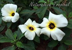 Flores de la planta Turnera de Ojos Pardos, Turnera subulata