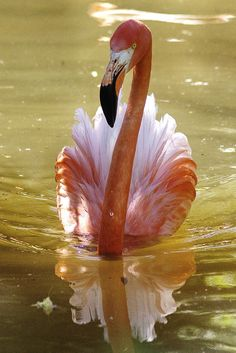 Rare sighting of a flamingo swimming like a duck! (I kid, I kid.) This is a gorgeous shot!