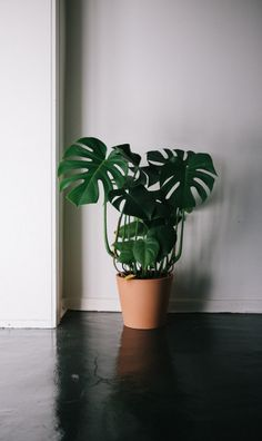 Is this like the neatest monstera or whaaat?  I N S T A G R A M @EmilyMohsie