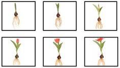 Logische volgorde groei tulp: