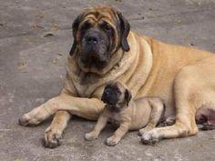 My favorite kind of dog English mastiff!!!