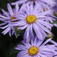 Buy michaelmas daisy - aster Monch Aster × frikartii Mönch - Lavender-blue, daisy flowers: pot: Delivery by Crocus