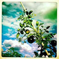 Community garden tomatoes, late summer.