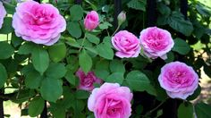 Best Way To Prune And Train Climbing Roses Learn how to train David Austin Roses as a flowering wall. Find out how to get them to produce MORE Flowers and display them as a vertical flowering wall.