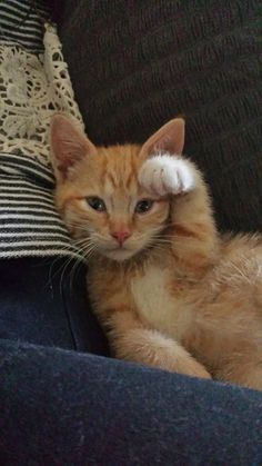 Post with 1098 views. Our orange boy doing his best Lucky Cat pose. Cute Cats And Kittens, Baby Cats, Cool Cats, Kittens Cutest, Animals And Pets, Baby Animals, Funny Animals, Cute Animals, Pretty Cats